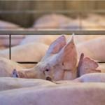 1744_pigs