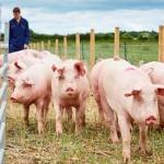 4659_University-of-Leeds-pig-farm2-700x336