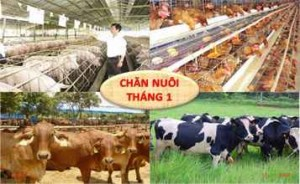 KH. Chan nuoi Viet Nam 1