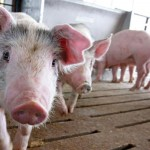 KH. NHF-pig-curious-GettyImages-ScottOlson