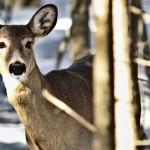 white-tailed-deermain-15500240769221782656549