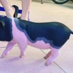 lợn cảnh