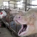 pig-farm-1
